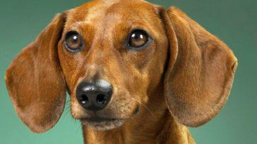 perros pueden llegar a sentir celos