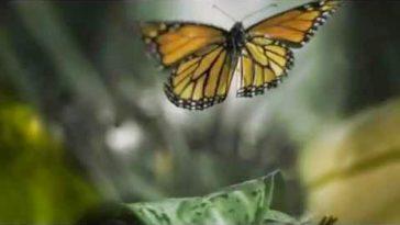 Reseña del documental El Vuelo de la Mariposa Monarca