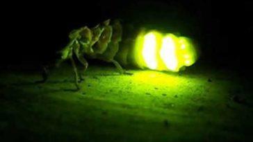 por que brillan luciernagas tlaxcala santuario