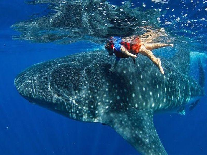 Mejores lugares de Quintana Roo: 5. Snorkel con tiburón ballena